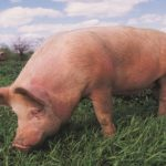 African Swine Fever Outbreak Announced In Central Region