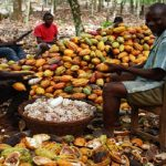 Govt Maintains Producer Price Of Cocoa As New Season Begins Friday