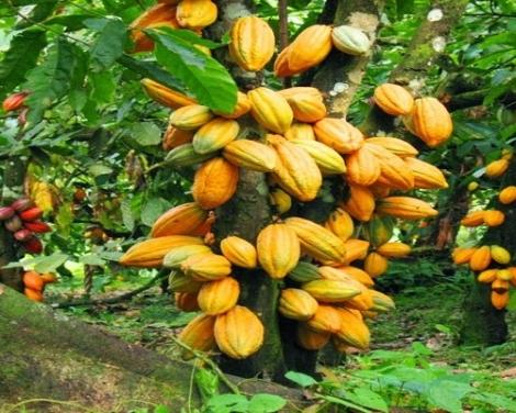 cocoa-ghana (1)